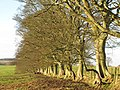 Avenue of trees near High Baulk - geograph.org.uk - 623544.jpg