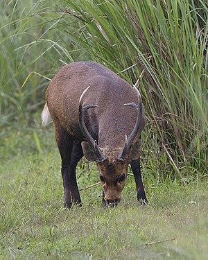 Vorderindischer Schweinshirsch (A. p. porcinus) im Kaziranga-Nationalpark