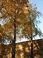 Bříza bělokorá (Betula pendula) in autumn 2015, Petrin.jpg