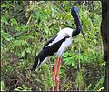 BLACK NECKED STORK (6831588432).jpg