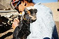 Baby Goat along the Friendship Highway, Tibet in 2014.jpg