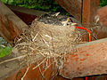Baby Robins in Nest 04.jpg