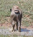 Baby Waterbuffalo (MGK09197).jpg