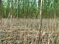 Bagremac na plantaži klonske topole.jpg