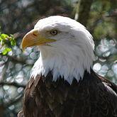 Bald Eagle-27527.jpg