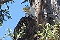 Bald eagle nesting in tree.jpg