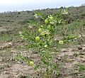 Balloon Cottonbush (Gomphocarpus physocarpus) (32160950001).jpg