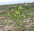 Balloon Cottonbush (Gomphocarpus physocarpus) (32160950001).jpg