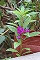 Balsam flowers 02.jpg