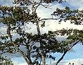 Balso (Ochroma pyramidale) (14680515696).jpg