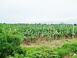 Banana Plantation, Padada.JPG