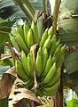 Banana in Kerala.jpg