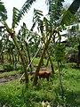 Banana trees in Inwa.jpg