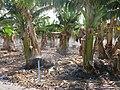 Bananenplantage in Tazacorte 2015-04.JPG