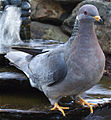 20 / Band-tailed Pigeon