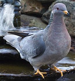 Bandtailedpigeon