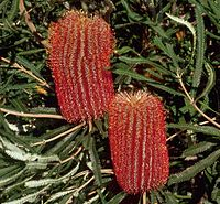 Banksia brownii shrubby cropped