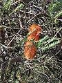 Banksia ericifolia (27810154337).jpg