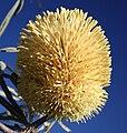 Banksia lindleyana 2.jpg