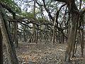 Banyan tree (Ficus benghalensis).JPG