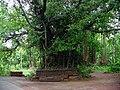 Banyan tree at Kanhirathara, Chirakkal.jpg
