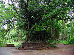 Sacred groves of India - Banyan Tree at a temple in Kannur, India
