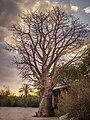 Baobab Tree at Vasai Fort.jpg