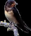 Barn swallow (Hirundo rustica rustica) cutout.png