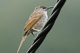 Barred Honeyeater, Mount Koghi, New Caledonia (5848915851).jpg