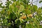 Bauhinia vahlii in Ananthagiri forest, AP W IMG 9172.jpg