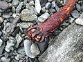 Beached kelp Norway root.JPG