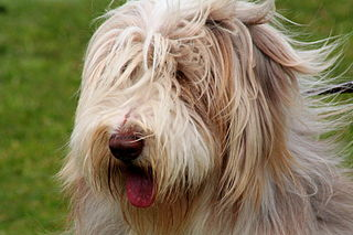collie barbudo o bearded collie