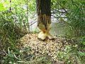 Beaver (32240960204).jpg