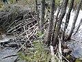 Beaver dam in a stream 2.jpg