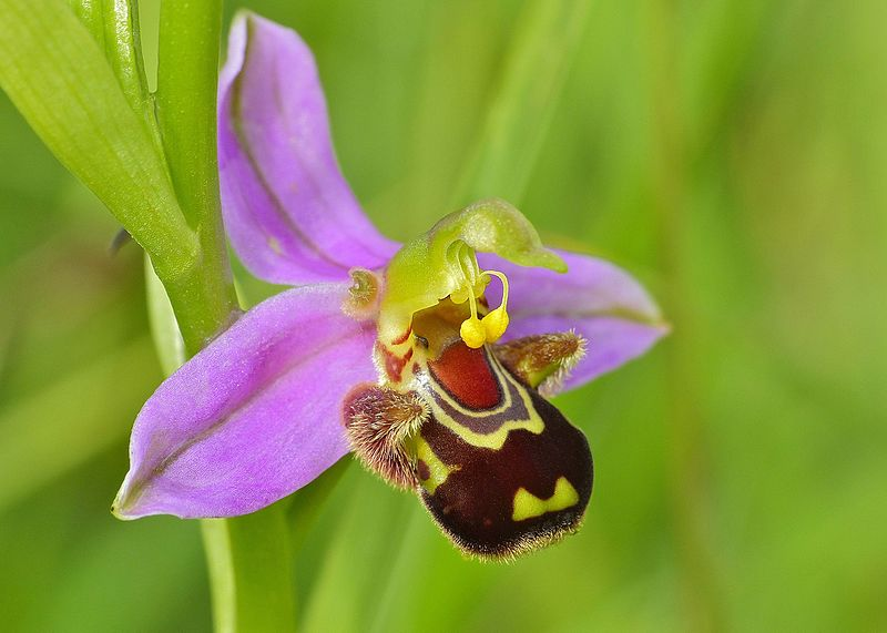 Fitxategi:Bee Orchid (Ophrys apifera) (14374841786) - cropped.jpg