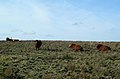 Beef Cattle on the Moor - geograph.org.uk - 349835.jpg