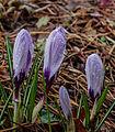 Beijzelde bloemknoppen van Krokus (Crocus). Locatie, Tuinreservaat Jonkervallei 01.jpg