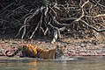 Bengal Tiger getting into the water at Sundarban.jpg