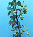 Berberis stenophylla a1.jpg