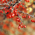 Berberis thunbergii winter aspect.jpg