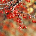 Berberis thunbergii winter aspect.jpg