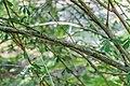Berberis wilsoniae in La Jaysinia (2).jpg