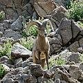 Bighorn sheep (32584414457).jpg