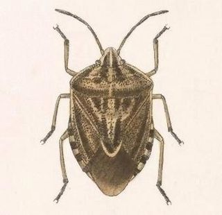 <i>Trichopepla semivittata</i> species of insect