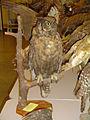 Bird specimen - Owl.jpg