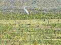 Birds at Nawabganj bird sanctuary, Unnao 03.JPG