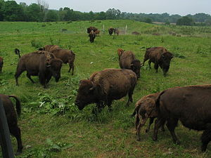 Windham County, Connecticut - Bison Farm