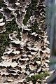 Bjerkandera adusta 68038047.jpg