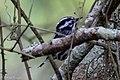 Black-and-white Warbler (male) Sabine Woods TX 2018-04-21 08-22-14 (28100377078).jpg