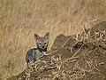 Black-backed Jackal Canis mesomelas in Tanzania 3512 Nevit.jpg